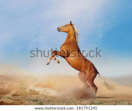 the akhal-teke horse in desert - stock photo