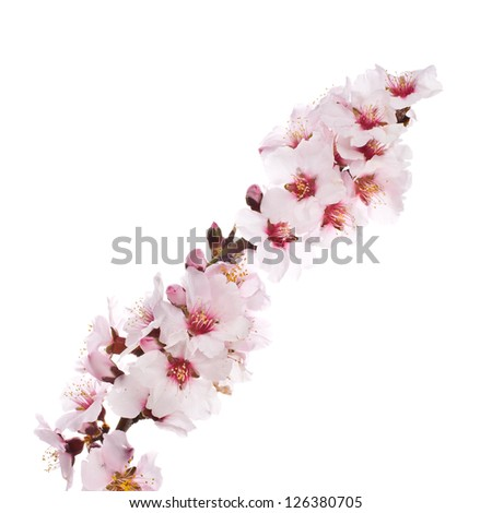 The almond tree pink flowers  close-up with branch isolated on white background.
