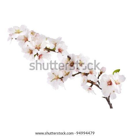The almond tree pink flowers with branch isolated on white - stock photo
