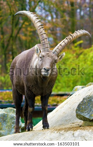 The Alpine ibex (Capra ibex), also known as the Steinbock, is a species of wild goat that lives in the mountains of the European Alps. - stock photo