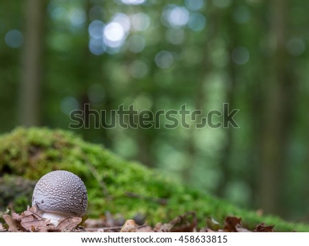 The Amanita Rubescens fungi, commonly known as 'the blusher'. Beautiful bokeh in the background - stock photo