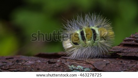 The amazing looking caterpillar of the Pale Tussock caterpillar moth