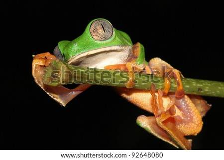 The AMAZING Tiger-legged Waxy Monkey Treefrog (Phyllomedusa tomopterna) in the Peruvian Amazon Isolated on black with lots of space for text - stock photo