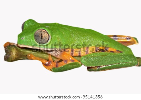 The AMAZING Tiger-legged Waxy Monkey Treefrog (Phyllomedusa tomopterna) in the Peruvian Amazon Cutout and Isolated on white with lots of space for text