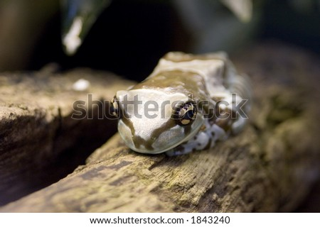 The Amazon Milk Frog (Trachycephalus resinifictrix formerly Phrynohyas resinifictrix) is a large species of arboreal frog native to South America. - stock photo