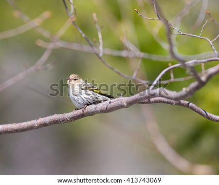 The American goldfinch, also known as the eastern goldfinch, is a small North American bird in the finch family. They are frequent visitors to back garden feeders in the harsh Quebec winters. - stock photo