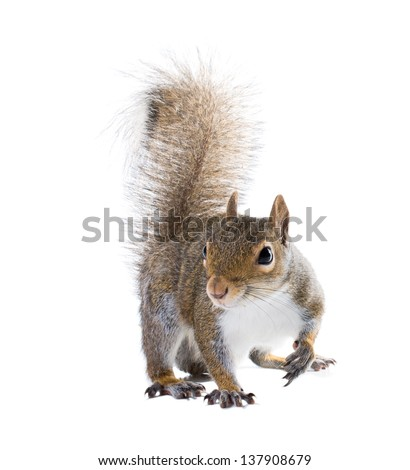 The American gray squirrel isolated on white background - stock photo