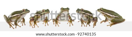 The American green tree frog (Hyla cinerea) - stock photo