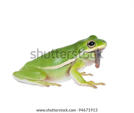 The American green tree frog (Hyla cinerea) of earthworm in the mouth