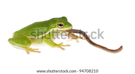 The American green tree frog (Hyla cinerea) of earthworm in the mouth - stock photo