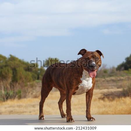 The American Pit Bull Terrier is a good-nature, amusing, extremely loyal and affectionate family pet. It is an extremely courageous and intelligent guard dog that is very full of vitality. - stock photo