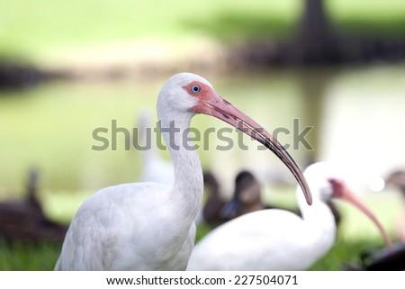 The American white ibis bird, Eudocimus albus - stock photo