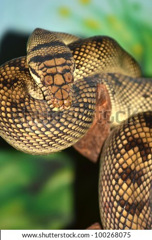 The amethyst or amethystine python, the largest snake in australia, can grow up to 25 feet. - stock photo