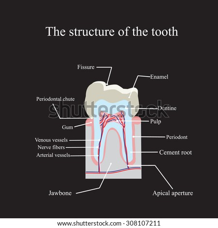 The anatomical structure of the tooth on a black background. - stock photo