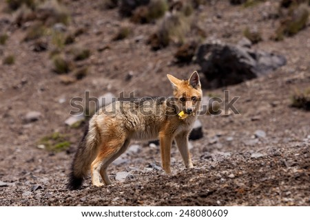The Andean Fox (Lycalopex culpaeus), also known as Culpeo, Zorro Culpeo or Andean Wolf.  This is a young animal in Chimborazo National Park, 4800 meters high in the Andes mountains of Ecuador. - stock photo