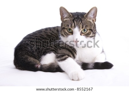 The angry housecat, pet and companion. Irritated and unforgiving - stock photo