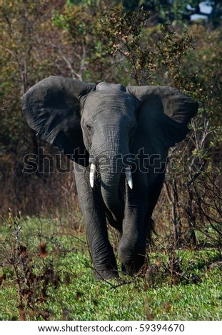 The annoyed elephant, looking blank, runs directly on us. - stock photo