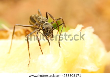 The ant eat banana. - stock photo