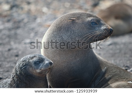 The Antarctic fur seal (Arctocephalus gazella) feeds on Antarctic krill in the cold seas around Antarctica.  It is the most common pinniped found in the South Shetlands. - stock photo