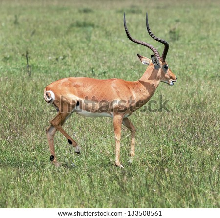 The antelope in the Masai Mara National Park - Kenya, Eastern Africa - stock photo