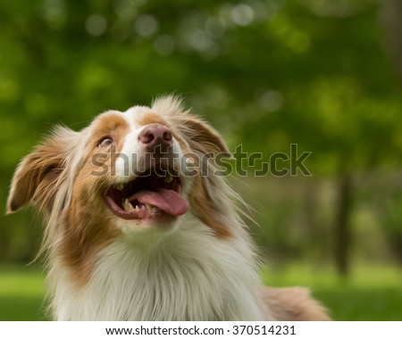 The anticipation of a beautiful dog looking up - stock photo