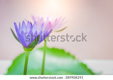 The appearance of a purple lotus flower is a beautiful symbol of Buddhism.