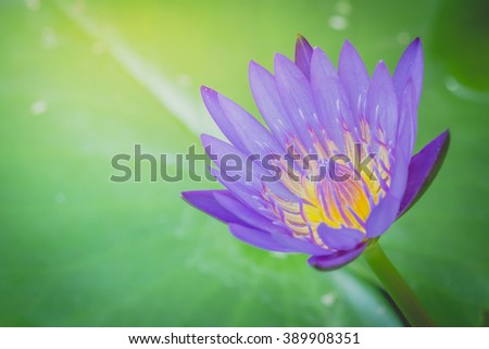 The appearance of a purple lotus flower is a beautiful symbol of Buddhism. - stock photo