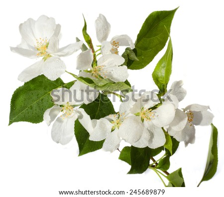The apple-tree blossoms. - stock photo