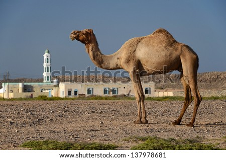 The Araby - camel and mosque - stock photo