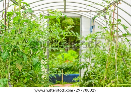 the arch of the greenhouse tomato seedlings in early spring - stock photo