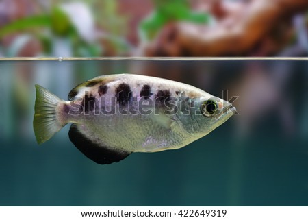 The Archer fish or fish-the sniper at the water surface. - stock photo