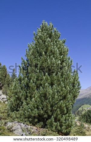 The Arve, also known as stone pine is at home in the high altitudes of the Alps - stock photo