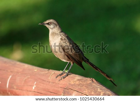 Ashy Starling Species Starling Family Sturnidae Stock Photo Royalty