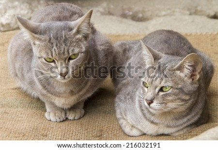 The Asian, Brown Cat, Malayan cat, Burmese cat range of different coat colours and patterns. - stock photo