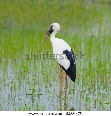 The Asian Openbill or Asian Openbill Stork (Anastomus oscitans) is a large wading bird in the stork family Ciconiidae. It can found this immigrated bird in Thailand. - stock photo
