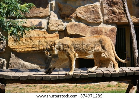The Asiatic lion (Panthera leo persica), also known as the Indian lion or Persian lion - stock photo
