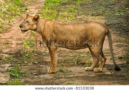 The asiatic lioness, a critically endangered species found only in India