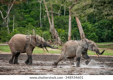 the attacking  Elephant. Forest Elephant (Loxodonta africana cyclotis), (forest dwelling elephant) of Congo Basin. Dzanga saline (a forest clearing) Central African Republic, Dzanga Sangha. Africa - stock photo