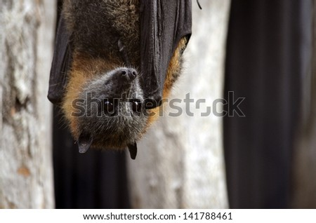 the Australian bat is hanging upside down - stock photo