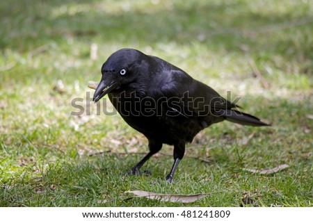 the Australian raven is eating a bit of tree bark