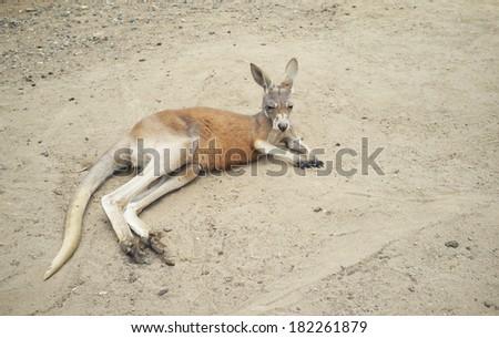 The Australian red kangaroo relaxing in sand - stock photo