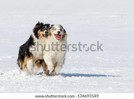 the Australian shepherds plays on a snow field