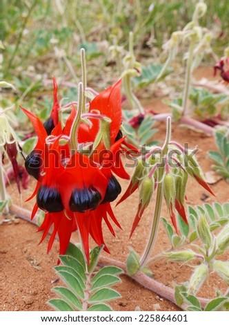 The Australian Sturts desert pea (Swainsona Formosa) native to the arid regions of Australia - stock photo