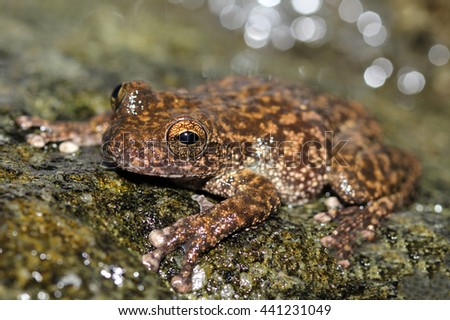 The Australian waterfall frog or torrent treefrog is a species of tree frog native to Far North Queensland, Australia. - stock photo