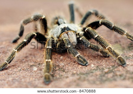 The baboon spider, Ceratogyrus, is often called tarantula. Is a giant among his comrades 13-90 mm however this was only 60mm - stock photo