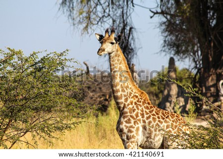 The baby giraffe in the field - stock photo