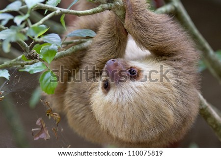 The baby two-toed sloth (Choloepus didactilus), Costa-Rica. - stock photo