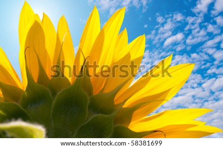 The back of the sunflower with petals of the blue sky - stock photo