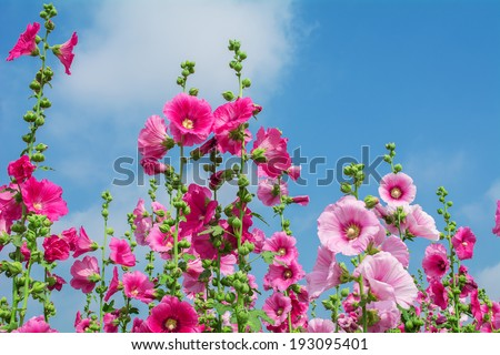 The background image of the colorful flowers holly hock flower - stock photo