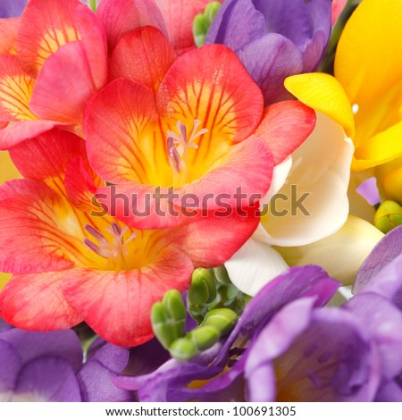 The background of the beautiful flowers of freesia - stock photo
